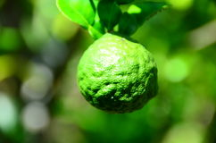Leech lime. It is one kind of Thai recipes. Leaves, fruit skill and juice are used Stock Photo