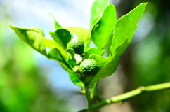 Leech lime. It is one kind of Thai recipes. Leaves, fruit skill and juice are used Stock Photos
