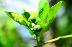 Leech lime Stock Photos