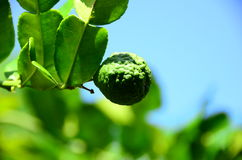 Leech lime. It is one kind of Thai recipes. Leaves, fruit skill and juice are used Royalty Free Stock Photography