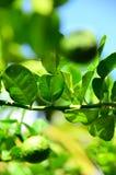 Leech lime Royalty Free Stock Photo