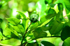 Leech lime. It is one kind of Thai recipes. Leaves, fruit skill and juice are used Stock Images