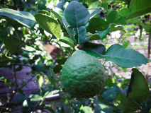 Leech Lime tree. One leech lime fruits hanging on its tree stock photo