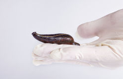 Leech on white Stock Images