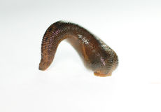 Leech2 royalty free stock photography