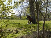Horse by Leeds Liverpool Canal at Salterforth in the beautiful countryside on the Lancashire Yorkshire border in Northern England. The Leeds and Liverpool Canal Royalty Free Stock Photography