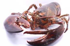 Leef Amerikaanse Zeekreeft met duidelijk getoonde klauwen Royalty-vrije Stock Afbeeldingen