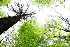 Leef bomen, dode bomen in de lente Stock Foto