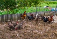 Leef eigengemaakte kippen op de binnenplaats in het dorp stock afbeeldingen