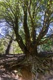 Leef eiken boom blootgestelde wortels standhoudend de sleeperosie, Californië royalty-vrije stock foto's