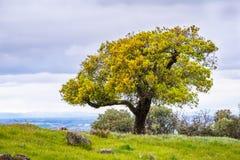 Leef eiken boom op een heuvel, baaigebied de Zuid- van San Francisco, San Jose, Californi? stock fotografie