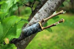 Leef knipsels bij het enten van appelboom met het kweken van knoppen stock afbeelding