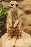 Leef rijpe meerkat Stock Foto