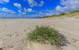 Leeg strand en clomp van blauwe bloemen Stock Afbeeldingen
