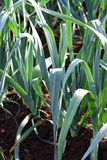 Leek on the field Stock Images