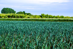 Leek field in summer Royalty Free Stock Images