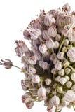Leek Flower Royalty Free Stock Images