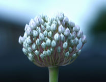 Leek flower. Ethereal blue and purple leek flower head Royalty Free Stock Images