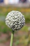 Leek flower Stock Image