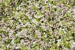 Leek flowers. The background of picked leek flowers royalty free stock photos
