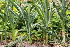 Leek. Fresh leek grow in eco ground stock photography