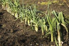 Leek in the garden Stock Images