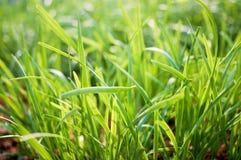 Leek in garden Royalty Free Stock Photography