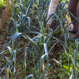 Leek, green, leg, arm, gardening, harvesting, homegrown produce. In a row one person harvesting leeks in a vegetable garden in autumn in France Stock Photo