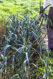 Leek, green, leg, hand, arm, gardening, harvesting, homegrown pr. In a row one woman harvesting leeks in a vegetable garden in autumn in France Royalty Free Stock Photo