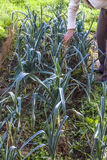 Leek, green, legs, hand, gardening, harvesting, homegrown produc. In a row one people harvesting leeks in a vegetable garden in autumn in France Royalty Free Stock Image