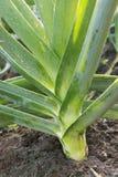 Leek grows of vegetable garden Stock Images