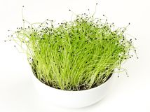 Leek microgreen in white porcelain bowl. Green shoots of Allium ampeloprasum with seed peels on the top. Stalks or stems of leek. Vegetable sprouts. Macro food Stock Photography
