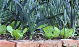 Leek onions and lettuce on garden bed Royalty Free Stock Photo