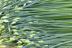 Leek peduncle Stock Photography