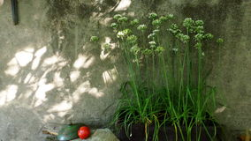 Leek6. Leek plants flowering in the shadow Royalty Free Stock Image