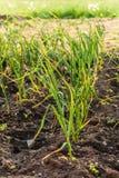 Leek plants Royalty Free Stock Photos