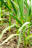 Leek plants in row stock photography