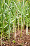 Leek plants in row Stock Photo