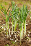 Leek soiled. Group of leek planted in the ground Stock Photography