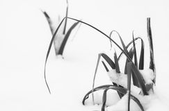 Leek staring out the snow, motif pattern, survival concept, minimalism in black and white. Grass staring out the snow, motif pattern, survival concept Stock Photo