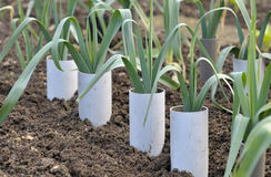 Leeks. Allium ampeloprasum growing in plastic pipes to blanch and extend the stems in a vegetable garden, variety Musselburgh Royalty Free Stock Photos