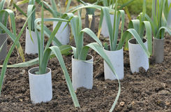 Leeks. Allium ampeloprasum growing in plastic pipes to blanch and extend the stems in a vegetable garden, variety Musselburgh Stock Photo