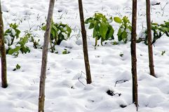 Leeks and cabbage in the snow. Snowcovered savoy cabbage and leeks in an allotment in the snow between bean supports royalty free stock images
