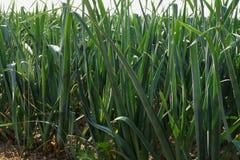 Leeks in a field Stock Photo