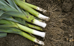 Leeks Stock Photography