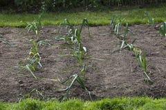 Leeks in garden Stock Images