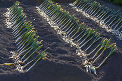 Leeks growing in Rows Royalty Free Stock Photography