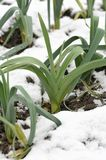 Leeks growing in winter snow. Rows of hardy winter leeks with snow on the ground, allium ampeloprasum, in a vegetable garden, variety Musselburgh Royalty Free Stock Photography