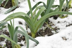 Leeks growing in winter snow. Rows of hardy winter leeks with snow on the ground, allium ampeloprasum, in a vegetable garden, variety Musselburgh Stock Image