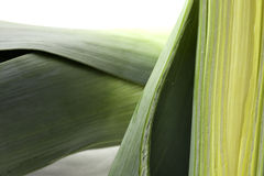 Leeks in section Stock Images